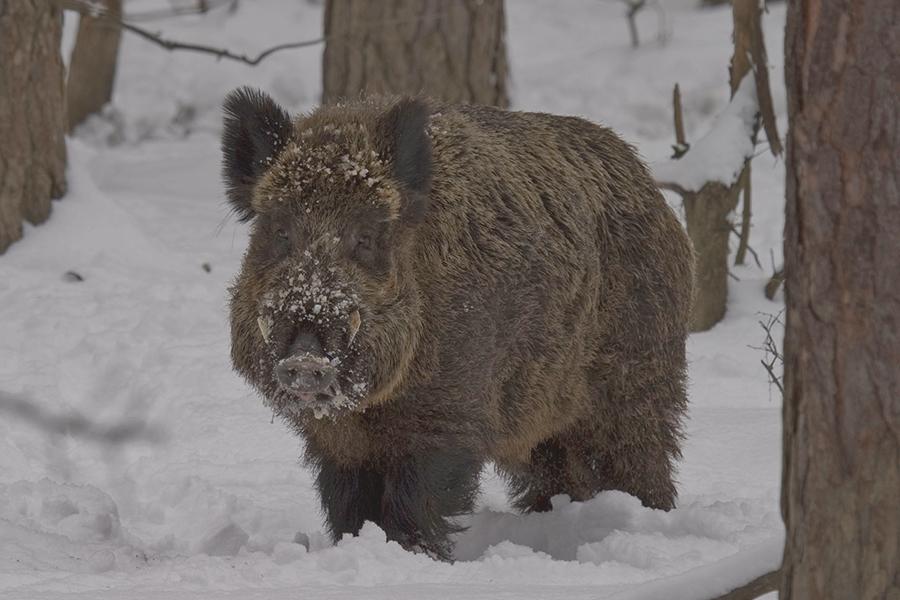лов на дива свиня