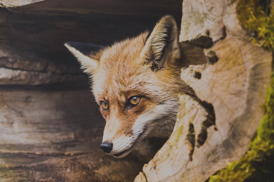 ловуване на лисици