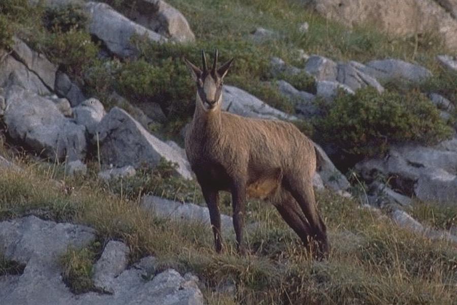 лов на дива коза