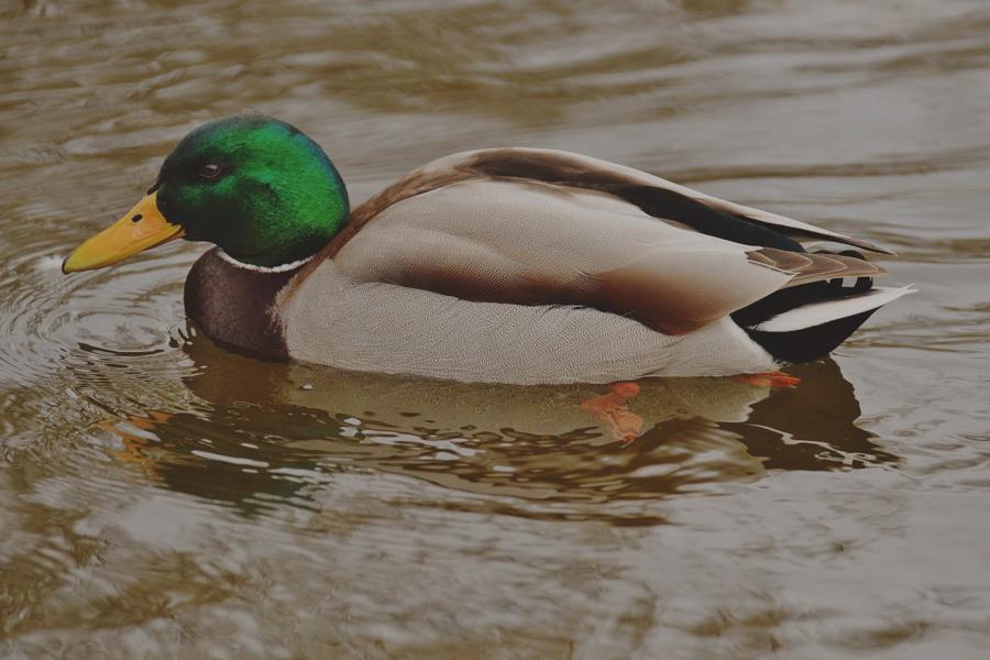 лов на дива патица
