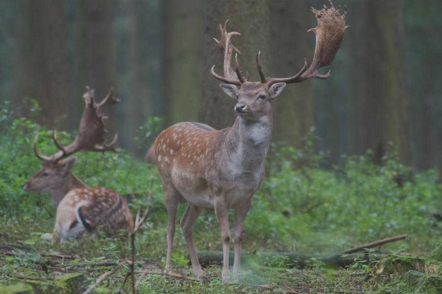 лов на елен лопатар